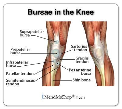 Bursae anatomy of the knee including the pes anserine, supra-patellar,infra-patellar and pre-patellar bursae.